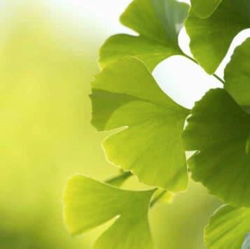 Gingkoblätter Phytotherapie Homöopathie – © AdobeStock/ 42043118