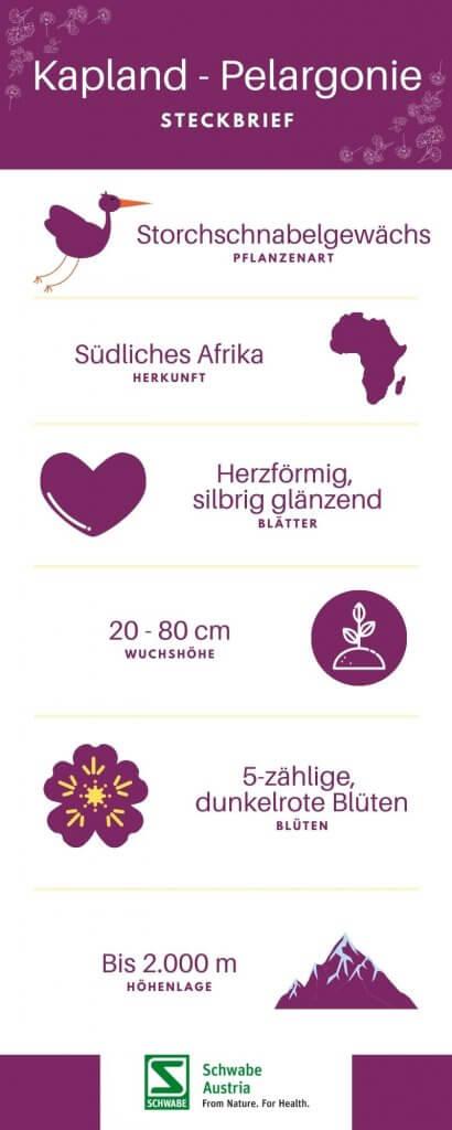 Südafrikanische Kapland Pelargonie Infographic