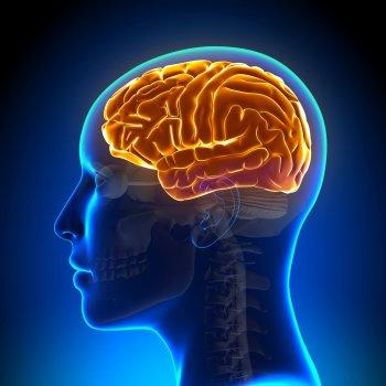 Gehirn Aufbau Mensch – © AdobeStock/ 73625554