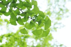 Pflanzenportrait: Ginkgo biloba