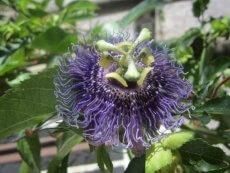 Pflanzenportrait: Passionsblume