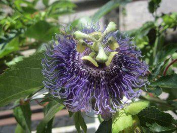 Passionsblume Heilpflanze gegen Unruhe – © Schwabe