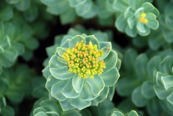 Rosenzwurz Rhodiola Rosea Pflanze